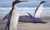 Giant Prehistoric Penguin Reconstructed in New Zealand