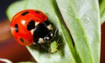 Better-Fed Ladybirds Redder and More Toxic