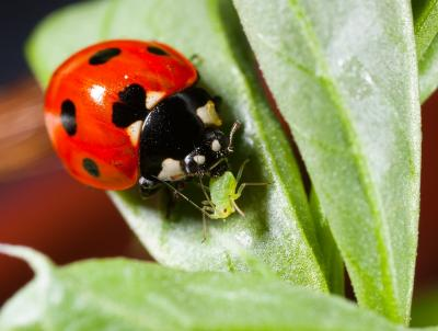 A ladybird eating an aphid. New research suggests that the redness of a ladybird's wings directly links to its toxicity and its diet in early life. (Jan Stipala)