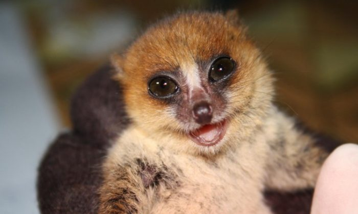 Lemurpediculus verruculosus was tagged to study brown mouse lemurs. (Sarah Zohdy)