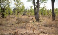 Farms, Settlements Shrinking African Lion Habitat
