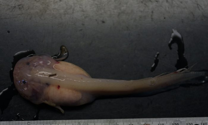 The liparid (Snailfish) Psuedoliparis amblystomopsis recovered from the giant trap at 7,703m deep in the Japan Trench in the Pacific Ocean (Natural Environment Research Council and University of Aberdeen)