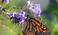 Monarch Butterflies Make Rare Appearance in Central Alberta