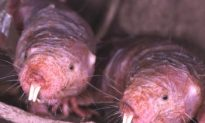 Why 'Sharks Get Cancer, Mole Rats Don't'