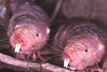 Despite their small body size, naked mole rats can live up to 30 years because they never contract cancer. (Courtesy of Kenneth Catania)