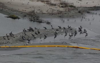Birds at the Breton Island sanctuary that is protected by oil boom barriers to stop the spread of oil from the BP Deepwater Horizon disaster, off the coast of Louisiana on April 30. (Mark Ralston/Getty Images)