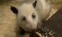 Heidi Opossum: German Heidi Opossum Has Cross-Eyes, Popularity