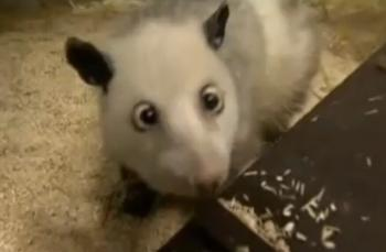 Heidi the opossum. (Screenshot of Youtube.com)