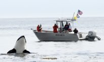Orcas Impacted More by Salmon Supply Than Tourist Boats