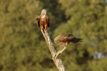 A pair of breeding kites collect material to build their nest. (F. Sergio)