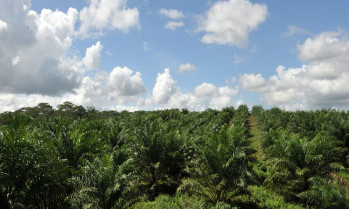 A plantation of oil palm trees in the Philippines, used for biofuel, processed food, and toiletries. The oil palms replace forest, rather than being grown on barren land. (Ted Aljibe/AFP/Getty Images)