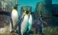 Kings Arrive at Central Park Penguin Exhibit