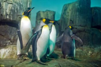 A flock of king penguins at a new exhibit at the Central Park Zoo entitled 'Polar Seabirds: Life on the Edge of the World' (Aloysio Santos/The Epoch Times)