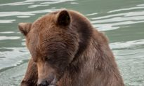 Swimming Salmon Benefit Grizzlies and Fisheries