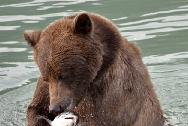Wild salmon are valued as a sustainable seafood option for humans, but can we consider how much salmon bears and ecosystems need when setting management goals? (Jennifer Allen)