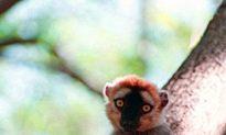 Illegal Logging Driving Lemurs to Extinction in Madagascar