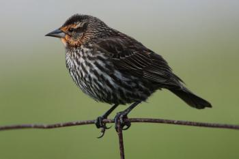 A female red-winged blackbird. (Wikimedia Commons)