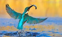 The Kingfisher—Bird of the Year