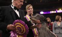 Westminster Dog Show 2011: Scottish Deerhound Wins Westminster Dog Show