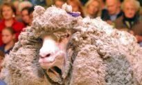 Shrek: New Zealand's Most Famous Sheep Meets His Destiny