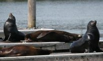 Hungry Sea Lions in Pacific Northwest Killed for Overeating Salmon