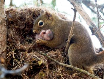 A female North American red squirrel moves a pup to a new nest. (Ryan W. Taylor)