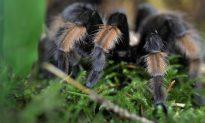 Tarantula Smuggler Stung by Feds
