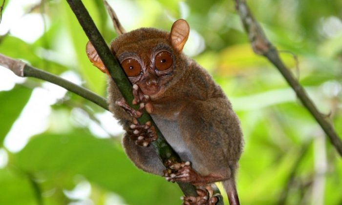 The Philippine tarsier, Tarsius syrichta, is the focus of a study on its ultrasonic mode of communication. (Courtesy of Nathaniel Dominy)