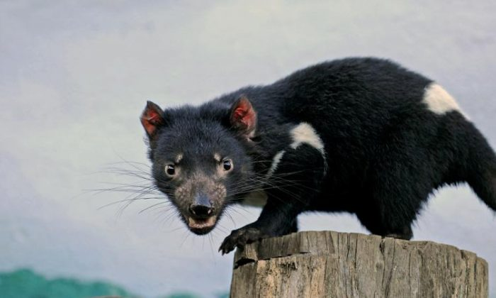 The complete genome of a female Tasmanian devil, which may be the original victim of a facial cancer that has been plaguing the species, has been sequenced. (GREG WOOD/AFP/Getty Images)