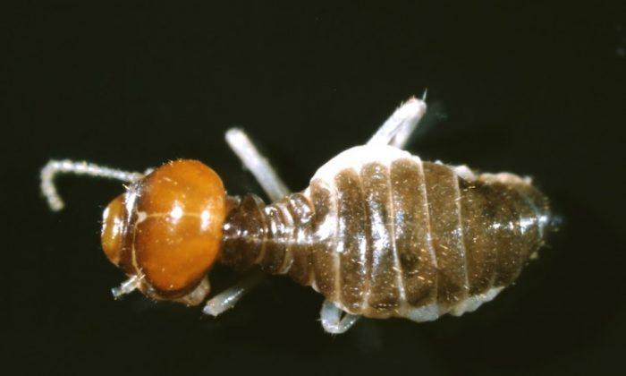 The termite Tumulitermes tumuli, photographed under a microscope. (Aaron Stewart, CSIRO/Fresh Science)