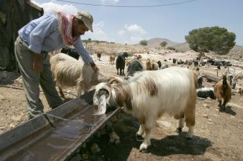 A Palestinian shepherd checks his goat as they stop for a drink in the northern West Bank village of Al-Aqaba. (Jack Guez/AFP/Getty Images)