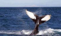 NZ to Urge Japan to Stop Whaling at International Meeting