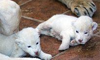Belgrade Zoo Boasts Newly-Born White Lions