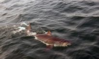 Rare Great White Shark Visits New England Waters