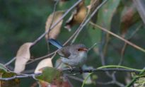 Baby Fairy-Wrens Tweet Incubation Password for Food
