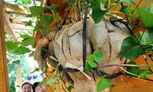 Huge Hanging Sweet Potato Has Guinness Record Potential