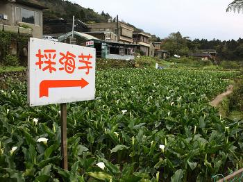 CALLA LILY SEASON: Calla lilies are a familiar and beautiful sight in the Yangmingshan, Jhuzihhu area. They are especially featured during the months of March and May. (Matthew Robertson)