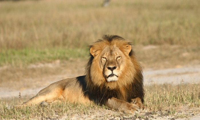 Cecil the lion rests in Hwange National Park, in Hwange, Zimbabwe, in this undated photo. (Andy Loveridge/Wildlife Conservation Research Unit via AP)