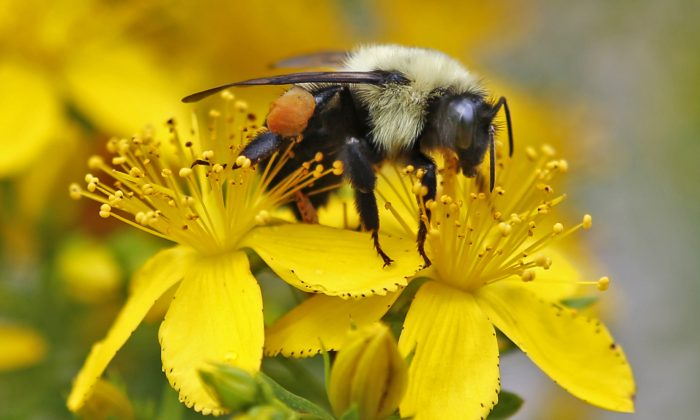 In this July 8, 2015 photo a bumblebee gathers nectar on a wildflower in Appleton, Maine. (AP Photo/Robert F. Bukaty)