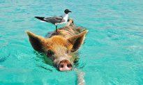 Friendly Swimming Pigs in Bahamas, No Kidding (+ Photos, Videos)