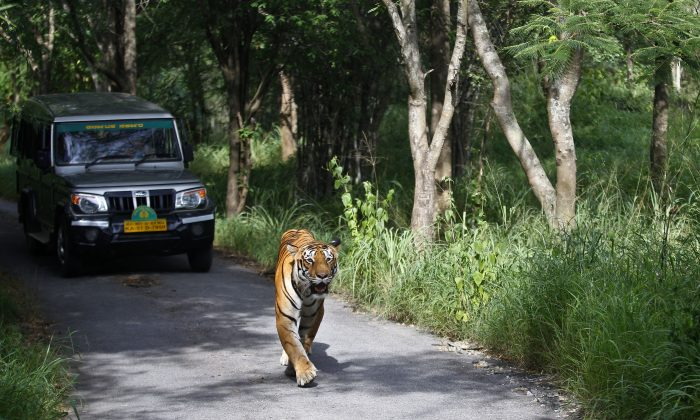 FILE - In this Wednesday, July 29, 2015 file photo, a Bengal tiger walks along a road ahead of a vehicle on Global Tiger Day in the jungles of Bannerghatta National Park, 25 kilometers (16 miles) south of Bangalore, India. (AP Photo/Aijaz Rahi, File)