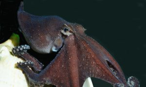 Odd Suckers: Octopus Species That's Weirdly Social, Romantic