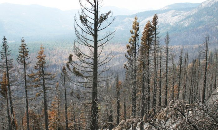 """After Northern California fires like the Angora Fire in 2007, scientists are seeing species from drier, warmer areas increasingly taking over, says Jens Stevens. """"It's a long process, but forest disturbance, be it thinning or wildfire, has the potential to hasten those shifts."""" (Steven Belcher/CC BY-SA 2.0)"""