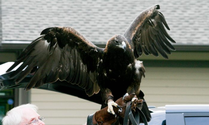 Julia the golden eagle flapping her wings at the Mamakating Library in Wurtsboro on Aug. 18, 2015. Julia has a 7-foot wing span and weighs about 14 lbs.(Holly Kellum/Epoch Times)