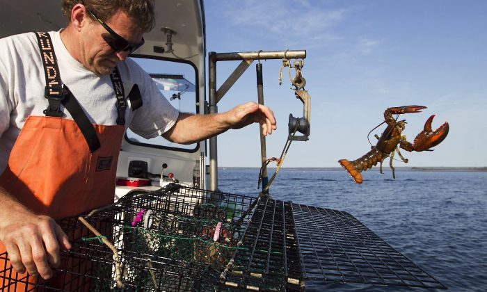 FILE - In this May 21, 2012, file photo, Scott Beede returns an undersized lobster while fishing in Mount Desert, Maine.   (AP Photo/Robert F. Bukaty, File)