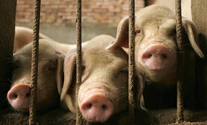 CHENGDU, SICHUAN PROVINCE: Pigs in their pen at a farm on the outskirts of Chengdu in China&#039s south west Sichuan province. Recently, a media blackout has been ordered in the region, leaving many wondering whether recent reports about the spread of the disease being slowed are in fact accurate. (Peter Parks/AFP/Getty Images)