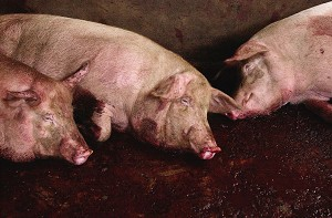 YUNNAN, CHINA: Pigs await slaughter in many regions of China as part of an attempt by Chinese officials to stem the spread of the pig pathogen that has killed at least 39 people and infected 214 in Sichuan Province. (China Photos/Getty Images)