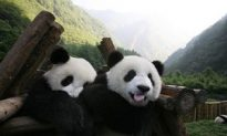 Chinese Pandas' Home Wins World Heritage Listing