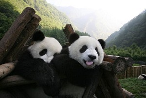 Giant panda cubs play at the China Giant Panda Protection and Research Center, home to about 80 artificially bred pandas, on June 29, 2006 in Wolong Nature Reserve of Sichuan Province, China. (China Photos/Getty Images)