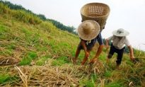 China Estimates About 11 Million Tons in Grain Reserves are Lost Annually